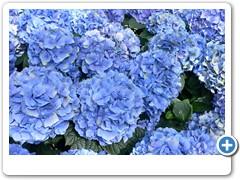Hydrangea Endless Summer 3