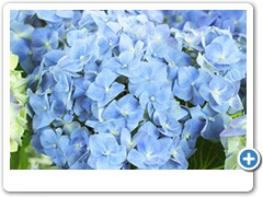 Hydrangea Forever & Ever Blue Heaven