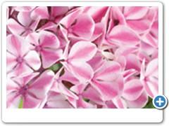 Hydrangea Forever & Ever Peppermint