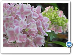 Hydrangea Forever & Ever Peppermint 2