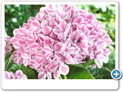 Hydrangea Forever & Ever Peppermint 3