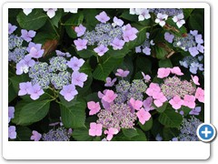 Hydrangea Forever & Ever Summer Lace