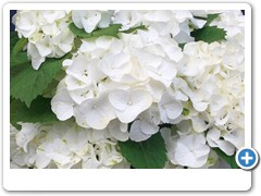 Hydrangea Forever & Ever White Out