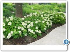Hydrangea Oakleaf PeeWee
