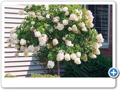 Hydrangea Pee Gee Tree
