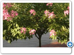 Hydrangea Pink Diamond Tree